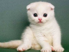 猫舍直销多只折耳猫宝宝,身体健康 品相好价格合理