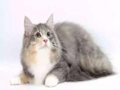 赤峰出售各品种幼猫 成猫 出售
