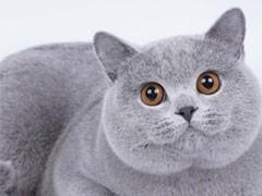 宣城繁育德文卷毛猫咪 非常黏人 不掉毛 证件齐全