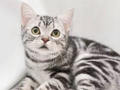 貓舍繁殖英美短毛貓生寶寶了,希望能給它們找一個新家