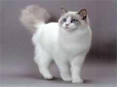 懷化全國發貨 也可視頻挑選貓咪