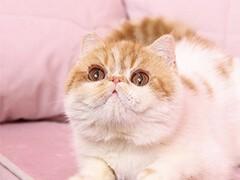 小米猫苑加菲猫多只在售 签协议包健康CFA猫舍专业繁殖