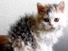 南京出售折耳貓 金吉拉 多只可選 保證健康