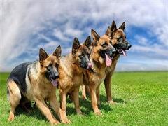 德国牧羊犬繁育基地直销 纯种德国牧羊犬 全国低价