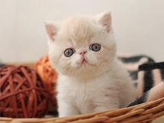 多只加菲猫宝宝疫苗驱虫已做好喜欢就速速下单