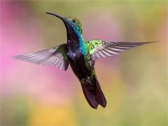 鴿系名門-歐系銘血信鴿賽鴿,山區中長距快速發揮,全國送