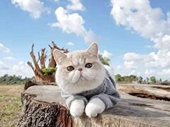 懷化英短貓出售 自家繁育 純種保健康 熱銷中