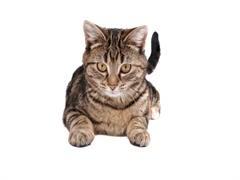 武汉美国短毛猫交流群