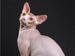 西安甜美系列英短 加菲猫