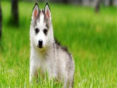喀什CKU注冊犬舍 各品種萌犬全國均可發貨 可視頻看狗
