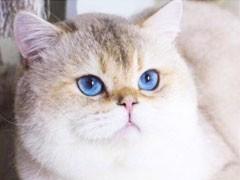 湖南懷化純種英短藍白價格