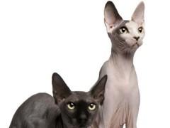 赤峰出售各种可爱的小猫咪 蓝猫 美短