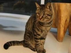 德州矮脚猫舍 专注繁育甜美系短腿猫