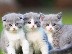 貓苑直銷多只折耳貓寶寶,身體健康 品相好價格合理