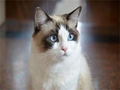 德州超可爱特价蓝白 矮脚猫 暹罗猫 短毛