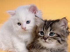 猫苑长期波斯猫 长毛波斯猫 白波斯猫 包纯种健康