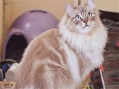 蕪湖出售藍白 藍貓 銀漸層 美短 可免費送貓上門