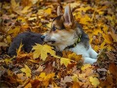 威海CKU注册犬舍 各品种萌犬全国均可发货 可视频看狗