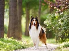自己家養的雙血統蘇格蘭牧羊犬犬 顏值高 忍痛出售