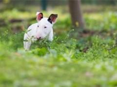 河源寵物狗 完美品相 簽協議純種健康 極品羅威納出售