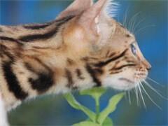 包纯自家猫舍繁殖纯种带证疫苗三包送货上门