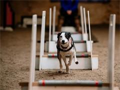 专业宠物犬工作犬训练