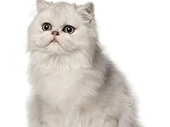 小米猫苑长期波斯猫 长毛波斯猫 白波斯猫 包纯种健康