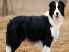 随州本地博美犬健康和纯种 可协议 可体检商家质保