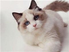伊春纯正英短优质品种,大包子脸蓝猫出售,疫苗已经做完
