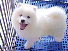 漳州奶白色拉布拉多 纯种血统拉布拉多犬 身体健康