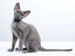 岳阳英短猫出售 自家繁育 纯种保健康 低价热销