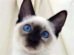 懷化出售布偶金銀漸層 緬因美短藍貓