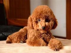一家寵物店賣純種健康的泰迪犬錢一只