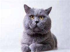 德州甜美系列英短 加菲猫
