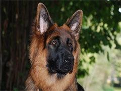 纯种的德国牧羊犬适合小孩养 性格样