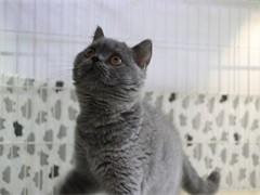 貓苑純正英短優質品種,大包子臉藍貓出售,疫苗已經做完