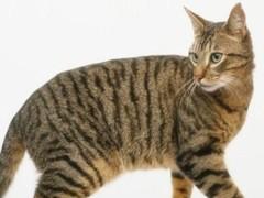 西安CFA专业猫舍 纯血统德文卷毛猫 完美品相包养活