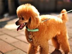 宣城纯种哈士奇幼犬 狗狗出售 可签协议质保健康