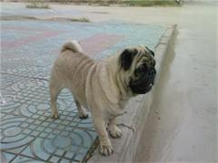 網紅巴哥犬 豐富的表情控 萌萌滴小眼神 包純種