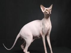 河源超可愛特價藍白 矮腳貓 暹羅貓 短毛