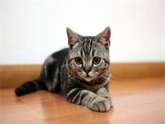 畢節出售布偶金銀漸層 緬因美短藍貓