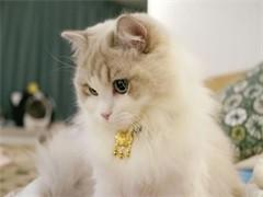 本溪出售各种可爱的小猫咪 蓝猫 美短