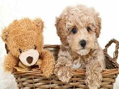 小玩具泰迪,毛量大,娃娃脸,颜色深红品相好