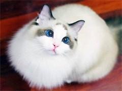 随州纯正英短优质品种,大包子脸蓝猫出售,疫苗已经做完
