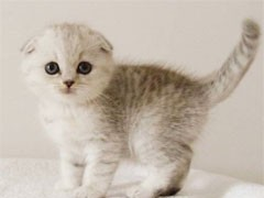 高品质英短银渐层猫咪折耳猫银渐层 找新家