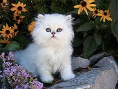 西安本地猫舍出售各类宠物猫 爱宠一家把萌宠带回家