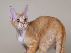 漳州英短猫出售 自家繁育 纯种保健康 低价热销