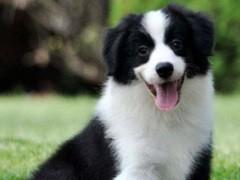 專業繁殖純種邊境牧羊犬絕頂聰明血統純健康好訓好養