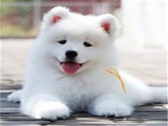萨摩耶宝宝 漂亮宝贝 里有卖萨摩耶 萨摩耶宠物狗