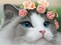 深圳CFA专业猫舍 纯血统德文卷毛猫 完美品相包养活